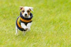 室外杰克罗素的狗 免版税图库摄影