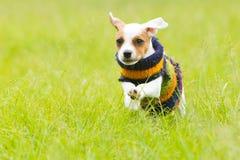 室外杰克罗素的狗 库存照片