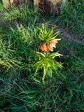 室外橙色冠皇家花贝母的imperialis 库存照片