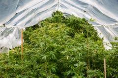 室外法律大麻增长 在家下的植物做塑料箍房子保护大麻免受许多雨 库存照片