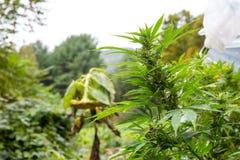 室外法律大麻增长 大芽准备好收获大麻系列从种子到销售 免版税库存图片