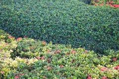 室外美丽的Ixora灌木在庭院里 免版税库存照片