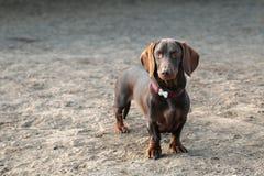 室外达克斯猎犬的画象 库存图片