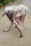 室外Scabies狗白色毛皮感觉的痛苦 库存照片