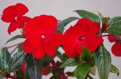 室花-明亮地红色凤仙花 库存图片