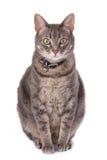 宫刑猫由于肥胖 免版税库存图片