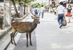 宫岛,日本- 2017年9月14日:在宫岛街道的鹿在游人之间的 免版税图库摄影