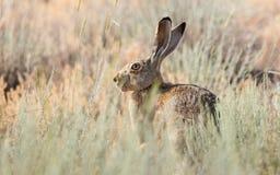 害怕没人的野兔 免版税库存照片