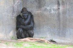 害怕的大猩猩 免版税库存照片