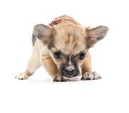 害怕的奇瓦瓦狗滑稽的小狗 免版税图库摄影