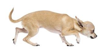 害怕的奇瓦瓦狗 库存照片
