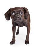 害怕的小品种抢救狗 图库摄影