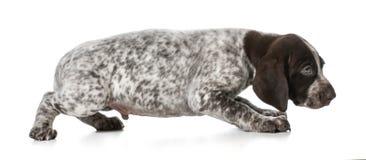 害怕的小狗 免版税图库摄影