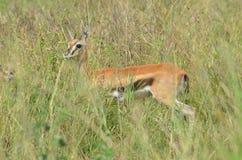 害怕的幼小瞪羚飞羚从它的掠食性动物掩藏 库存照片