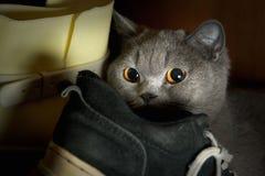 害怕的纯血统猫在鞋子中的衣橱掩藏了 免版税库存图片