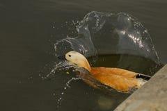 害怕的鸭子 免版税库存照片