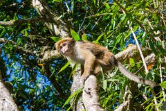 害怕的猴子坐树 免版税库存照片