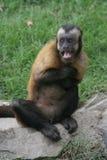 害怕的猴子 库存照片