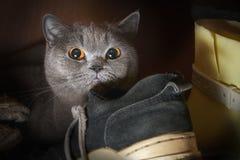 害怕纯血统猫在鞋子中的衣橱掩藏了 免版税库存图片