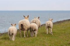 害怕绵羊 库存图片