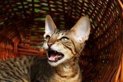 害怕i猫叫声 库存图片