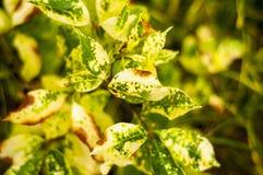 害病的叶子 免版税图库摄影