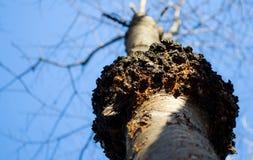 害病的树 免版税库存图片