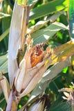 害病的玉米 图库摄影
