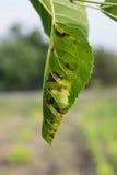 害病绿色叶子的树 库存图片
