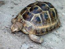 害羞的乌龟 库存图片