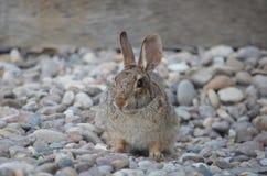 害羞的兔宝宝 免版税库存照片