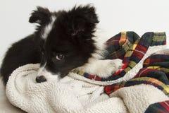 害羞的博德牧羊犬小狗 免版税库存照片