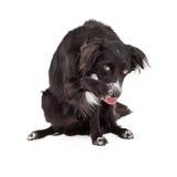 害羞的博德牧羊犬被混合的品种狗 库存图片