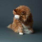 害羞的姜猫 库存图片