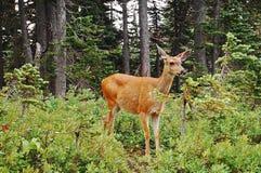害羞的幼小长耳鹿母鹿 库存照片