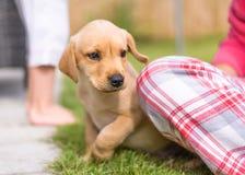 害羞的拉布拉多小狗在庭院里 免版税库存图片