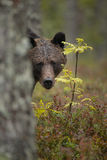 害羞的熊 库存照片
