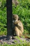 害羞的狒狒 免版税库存照片