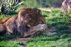 害羞的狮子 免版税库存图片