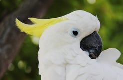 害羞的白色鹦鹉 免版税库存图片