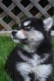 害羞的看起来的黑白Alusky小狗 免版税库存图片