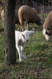 害羞的羊羔 库存照片