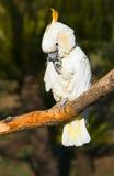 害羞的美冠鹦鹉 库存照片