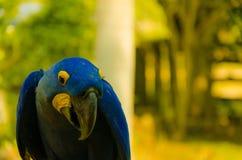 害羞的蓝色鹦鹉在潘塔纳尔湿地 图库摄影