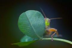 害羞的蚂蚱 免版税图库摄影