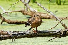 害羞的野鸭鸭子 免版税图库摄影