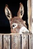 害羞的驴 免版税库存图片