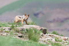 害羞的黑色支持食物的狐狼换气在登上一边 免版税图库摄影