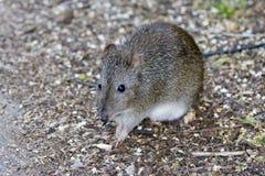 害鼠食物查找 免版税库存照片