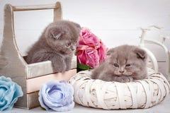 家、安静和爱概念-两只苏格兰人折叠猫睡着 库存照片